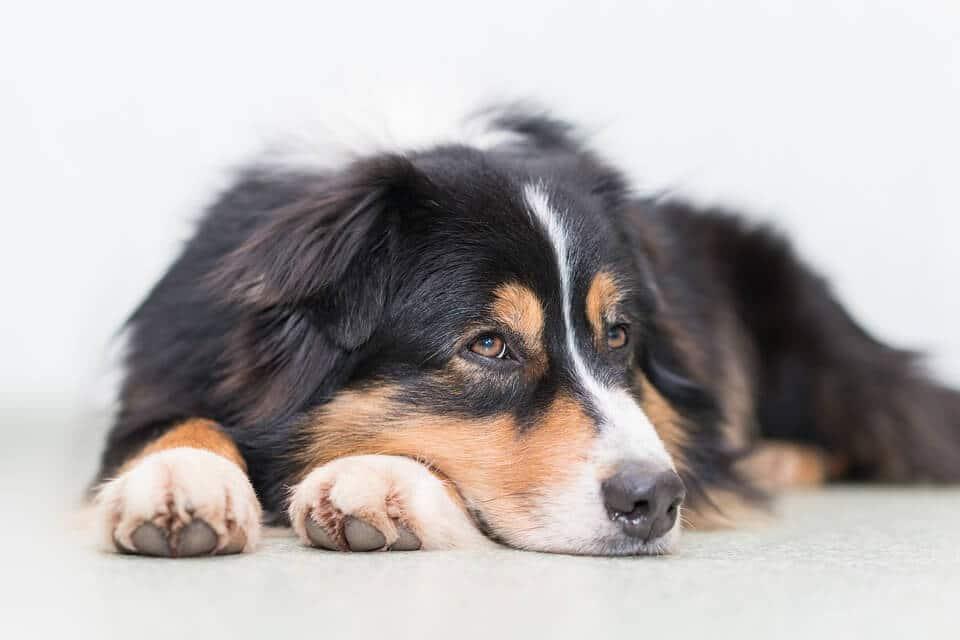 quel est le meilleur collier antiparasitaire pour chien en. Black Bedroom Furniture Sets. Home Design Ideas